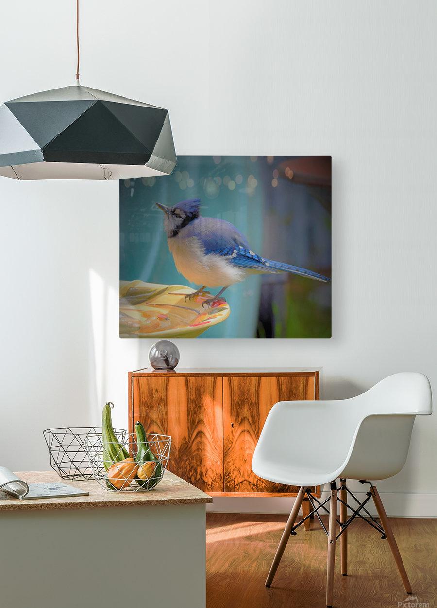 Geai bleu  HD Metal print with Floating Frame on Back