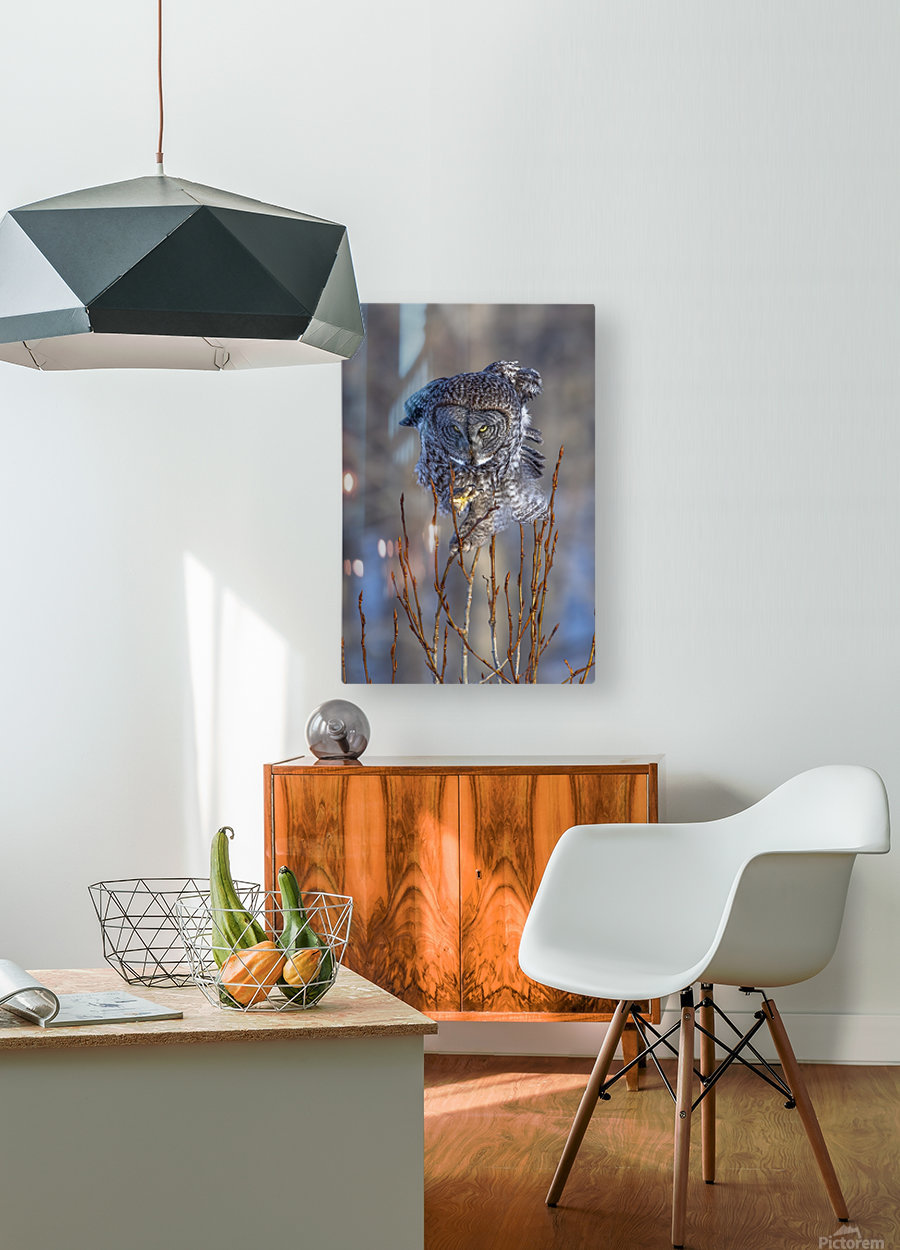 Great Grey Owl - Hanging on  HD Metal print with Floating Frame on Back