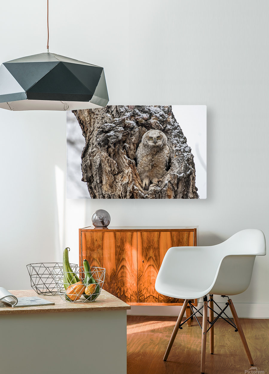 Great Horned Owlet - Can I come out yet  HD Metal print with Floating Frame on Back