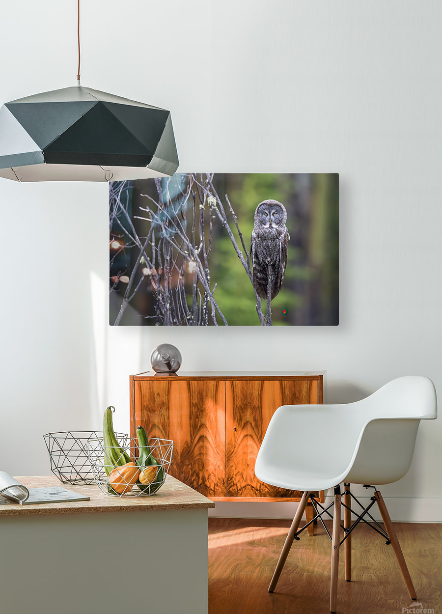 Great Grey Owl - Portait  HD Metal print with Floating Frame on Back