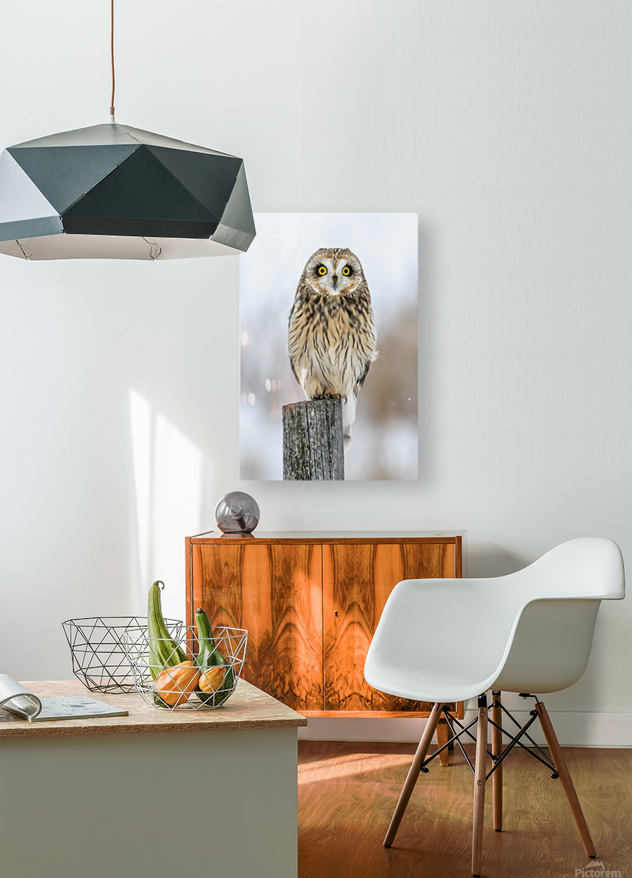 Short Eared Owl - Eyes wide open  HD Metal print with Floating Frame on Back