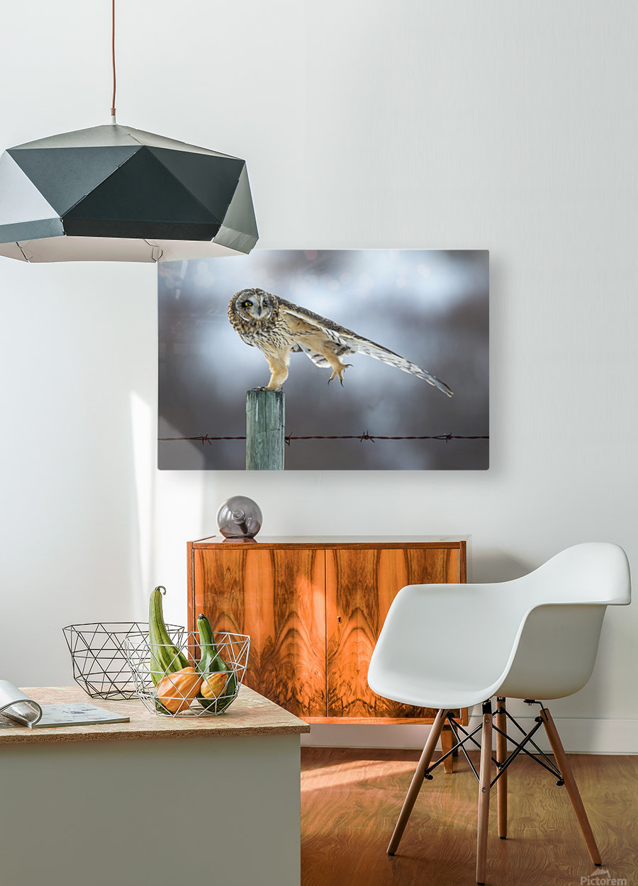 Short Eared Owl - Big Stretch  HD Metal print with Floating Frame on Back