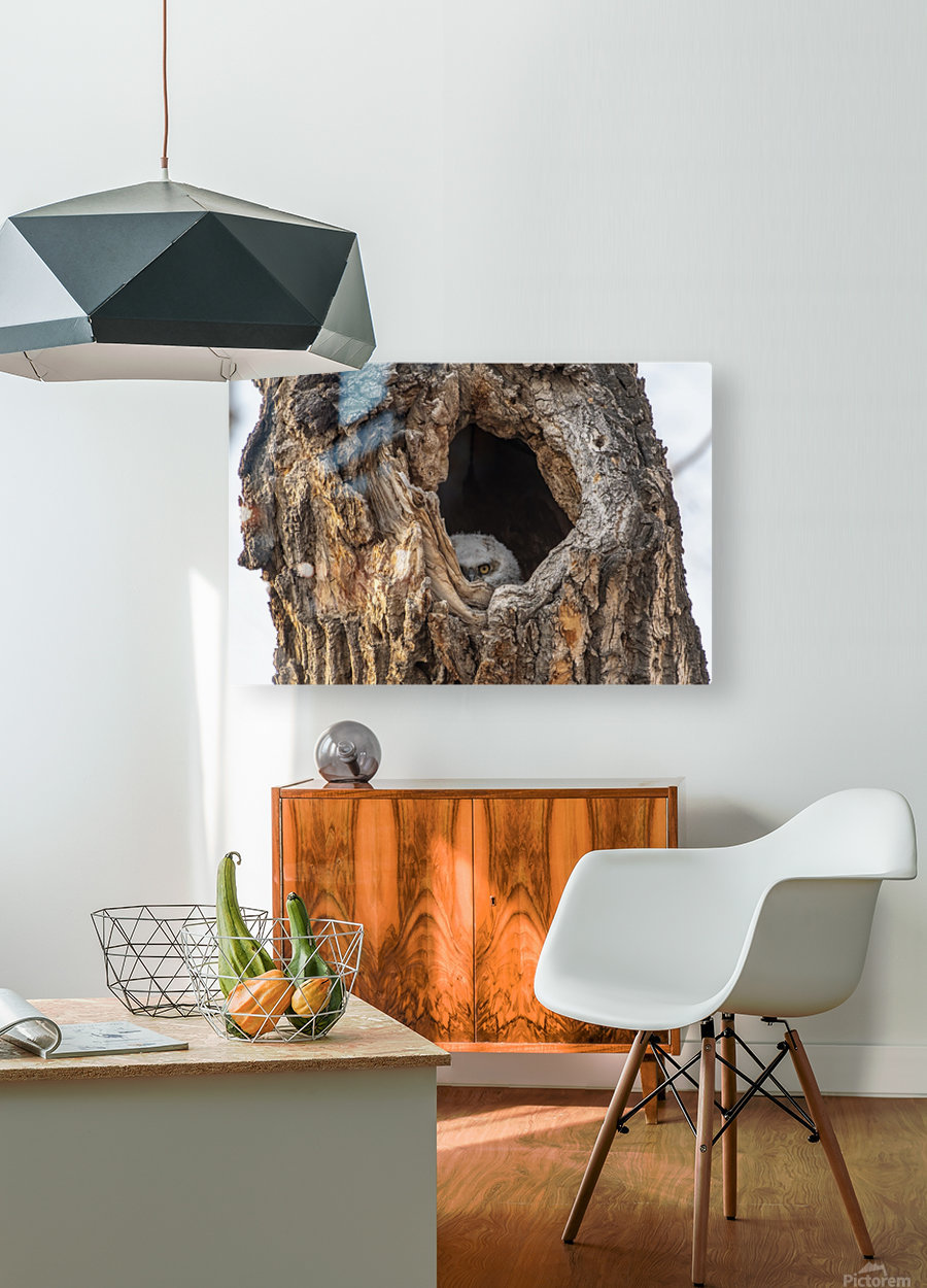 Great Horned Owl - Peek a boo  HD Metal print with Floating Frame on Back
