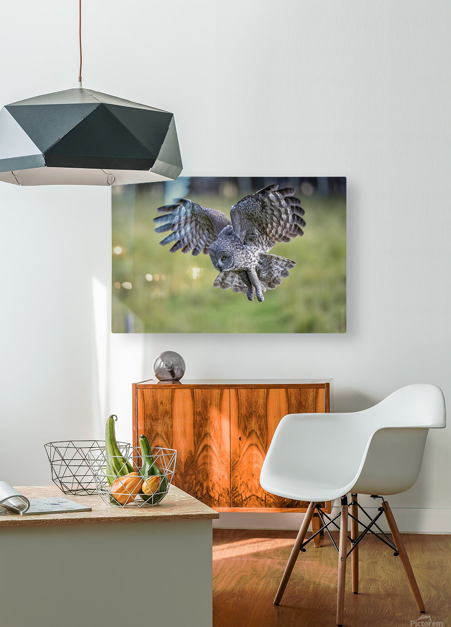 Great Grey Owl - Incoming  HD Metal print with Floating Frame on Back