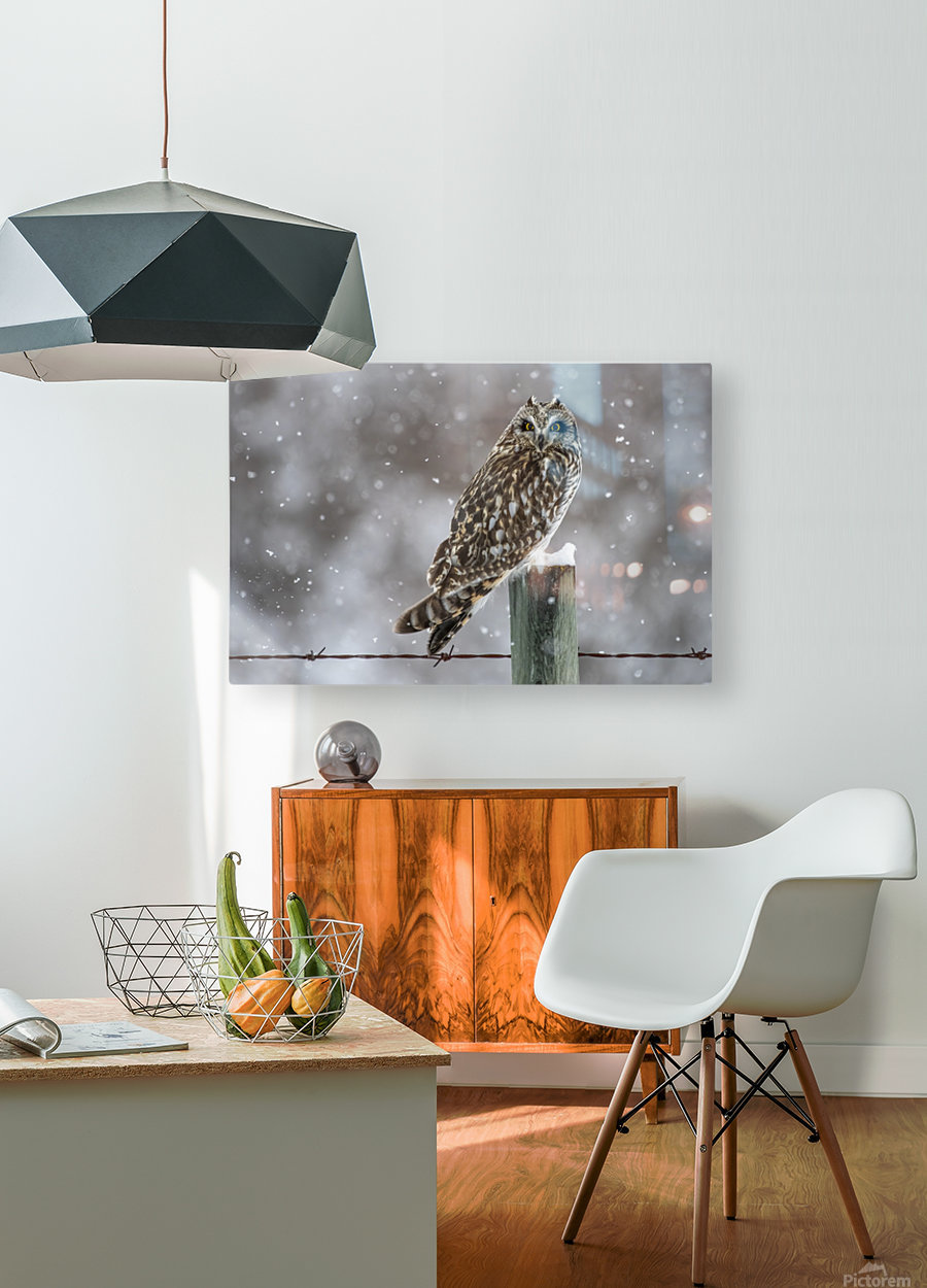 Short Eared Owl - Snow Storm  HD Metal print with Floating Frame on Back
