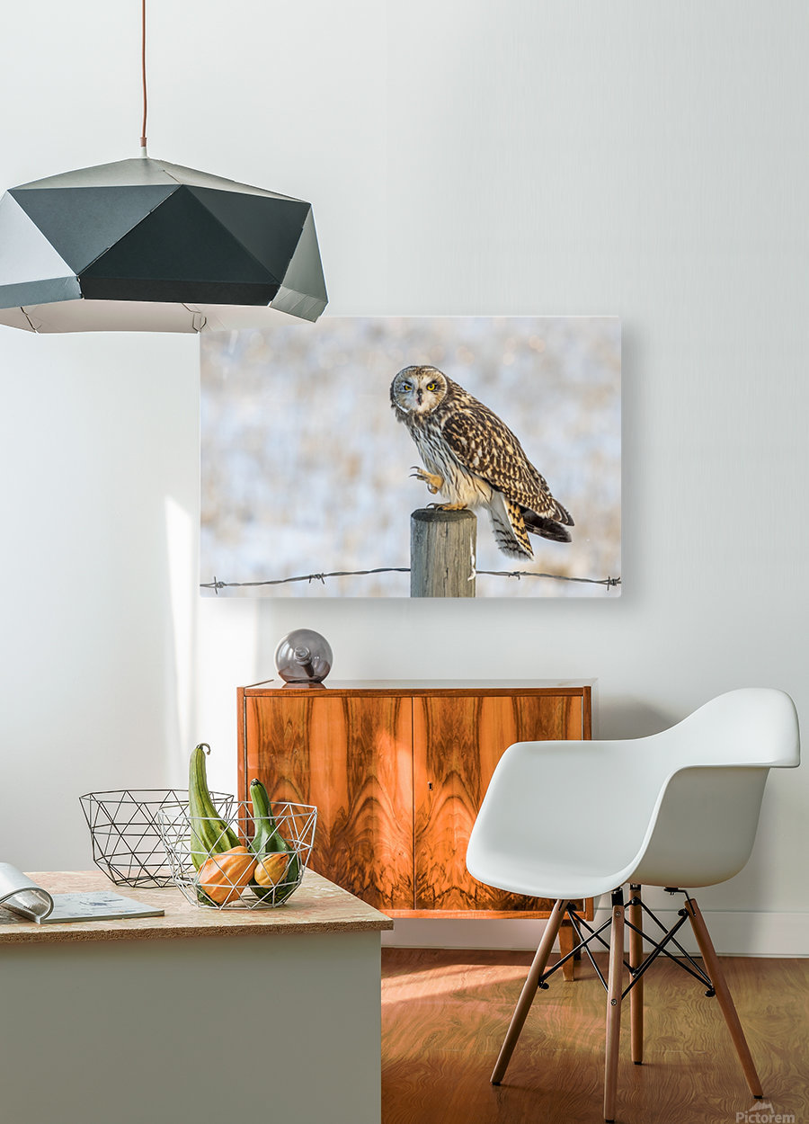 Short Eared Owl - Just an Itch  HD Metal print with Floating Frame on Back