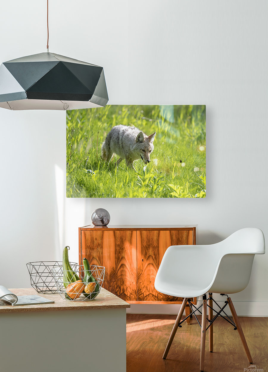 Coyote - Meadow Walk  HD Metal print with Floating Frame on Back
