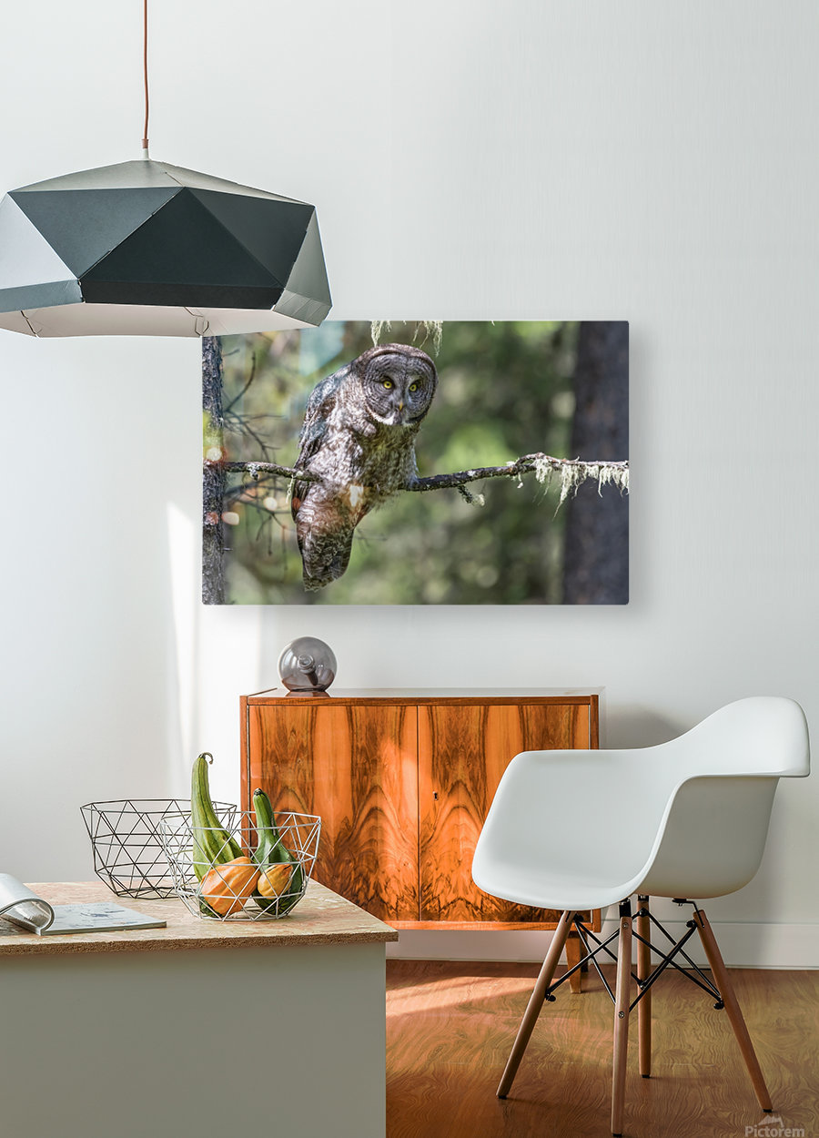 Great Grey Owl - Hunting mode  HD Metal print with Floating Frame on Back