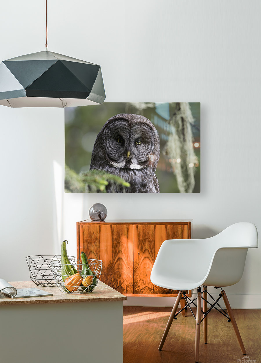 Great Grey Owl - Eye to Eye  HD Metal print with Floating Frame on Back