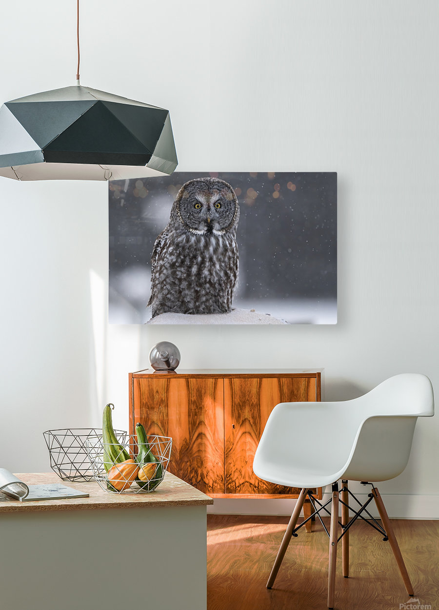 Great Grey Owl - Hunting at Sunset  HD Metal print with Floating Frame on Back