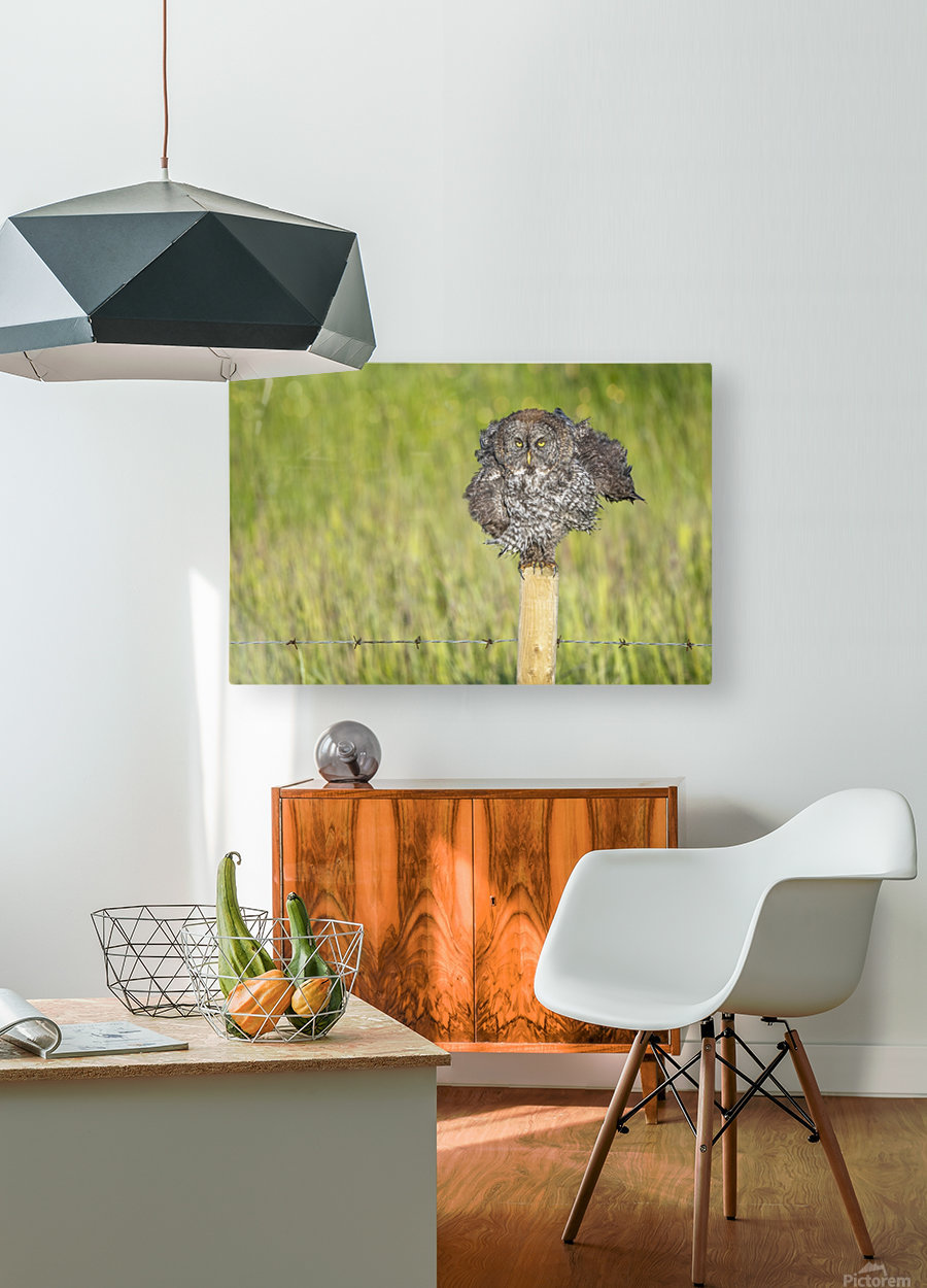 Great Grey Owl - Shaking It Out  HD Metal print with Floating Frame on Back