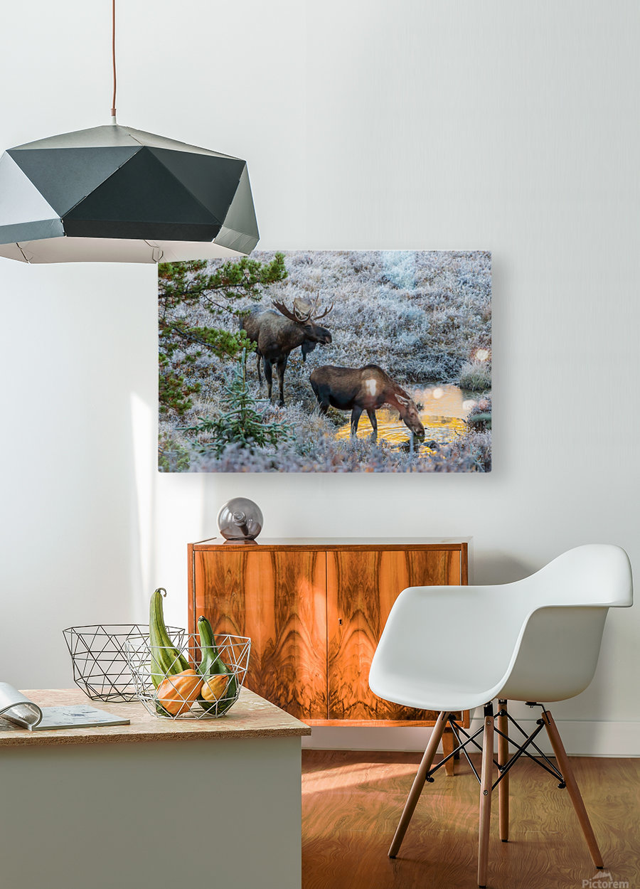 Moose On Golden Pond  HD Metal print with Floating Frame on Back