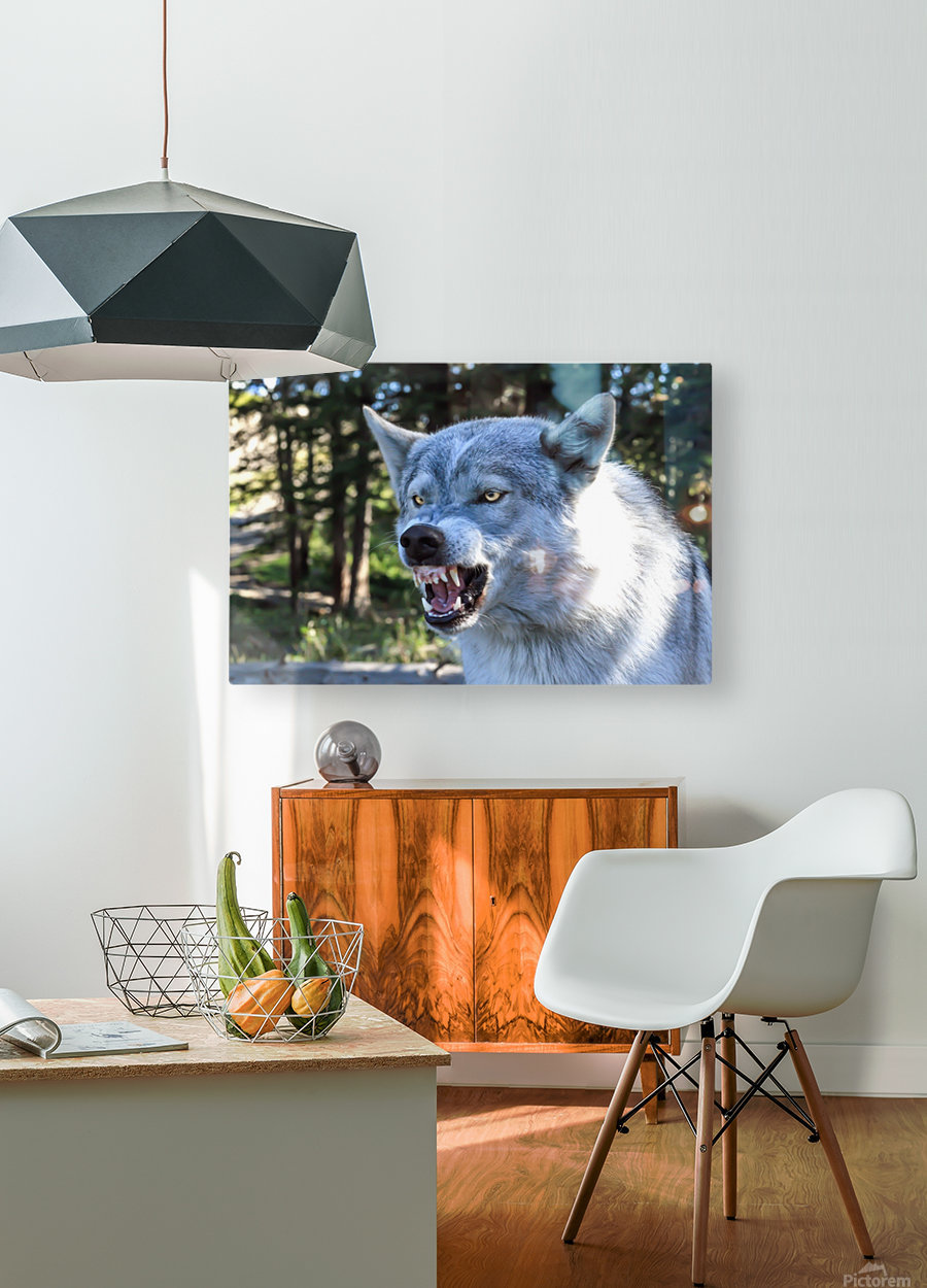 Wolf Dog Snarling  HD Metal print with Floating Frame on Back