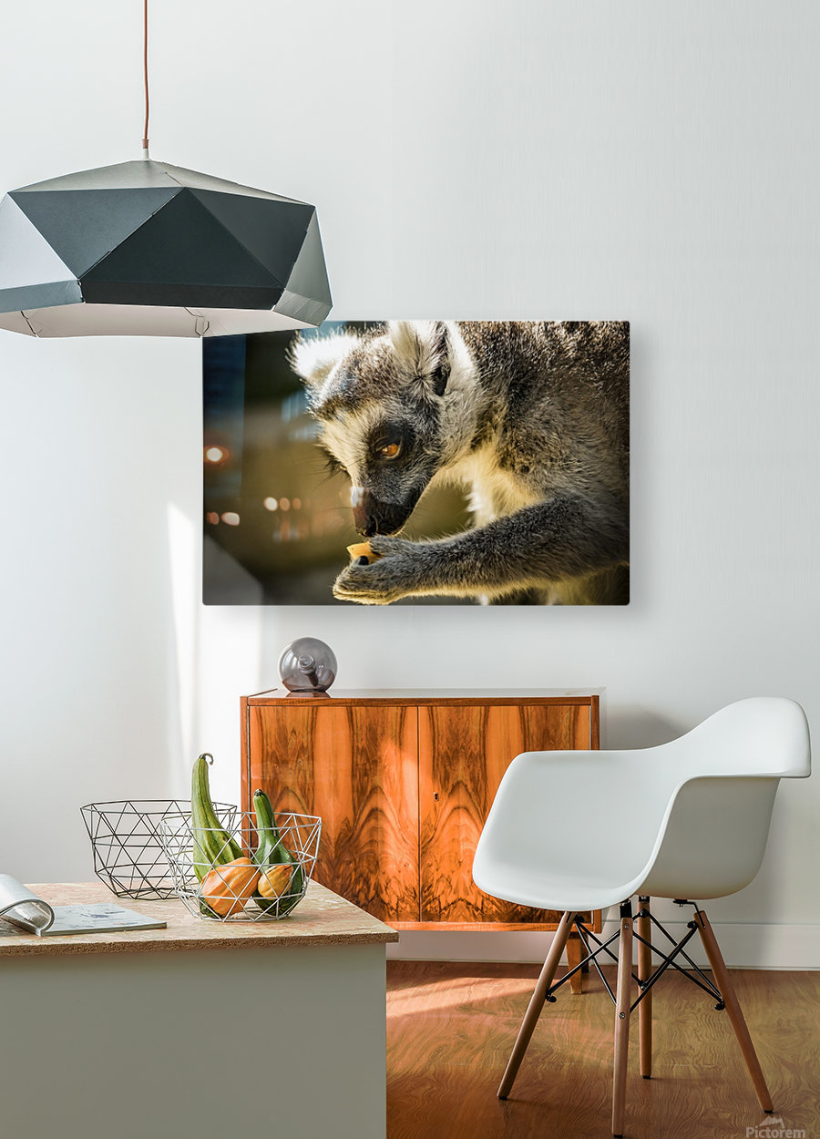 Ring-tailed lemur  HD Metal print with Floating Frame on Back