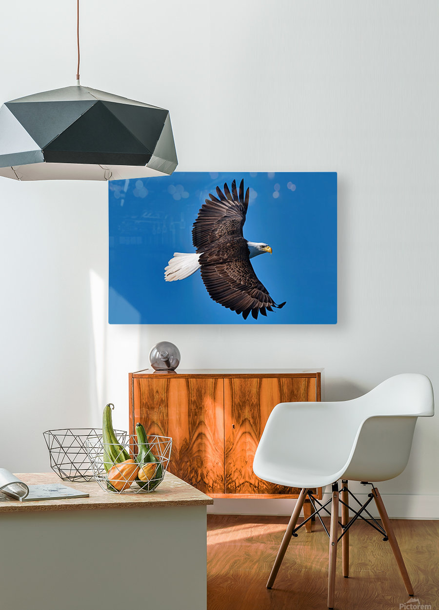 American Bald Eagle  HD Metal print with Floating Frame on Back