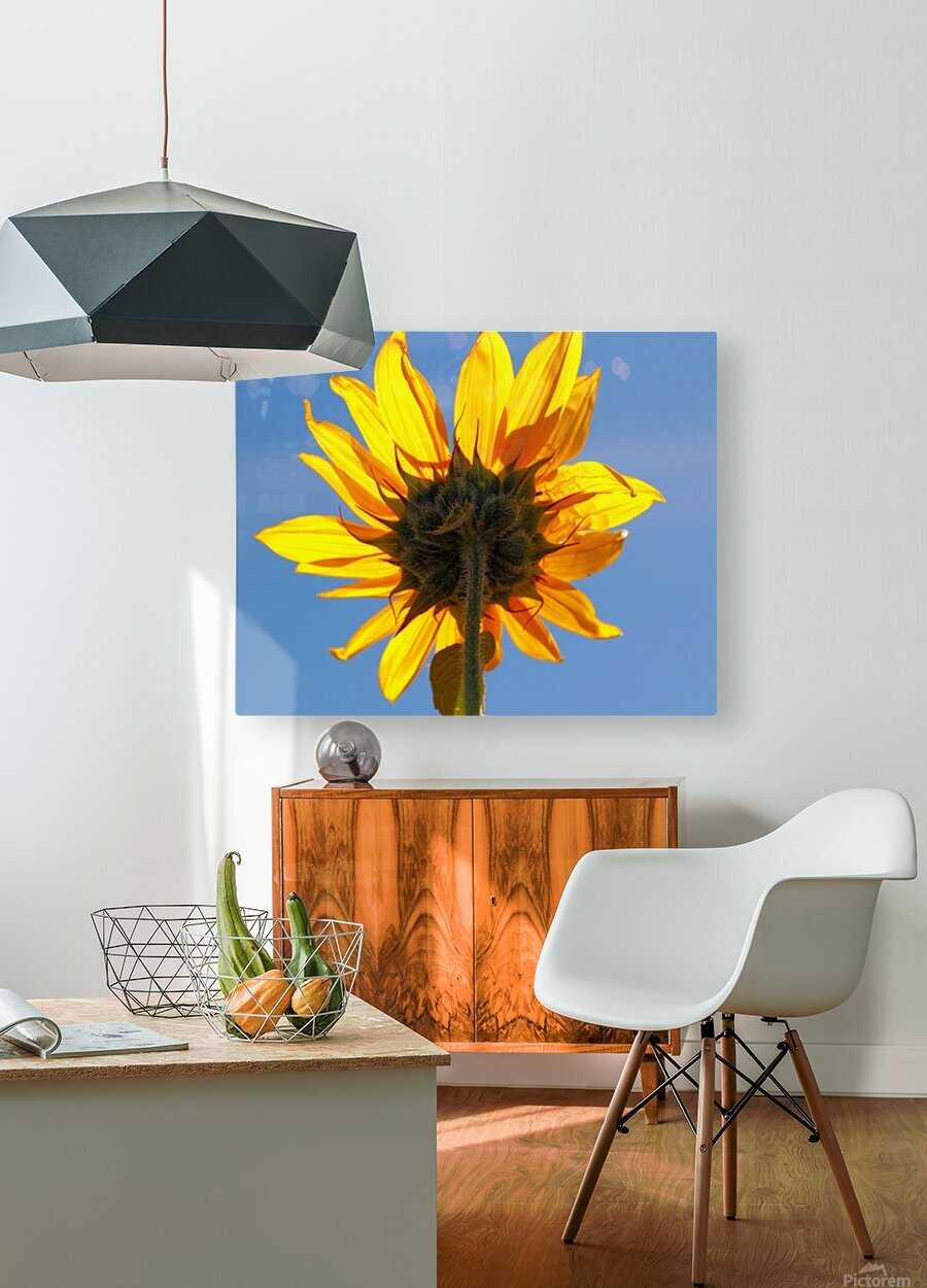 Glowing Heliopsis  HD Metal print with Floating Frame on Back