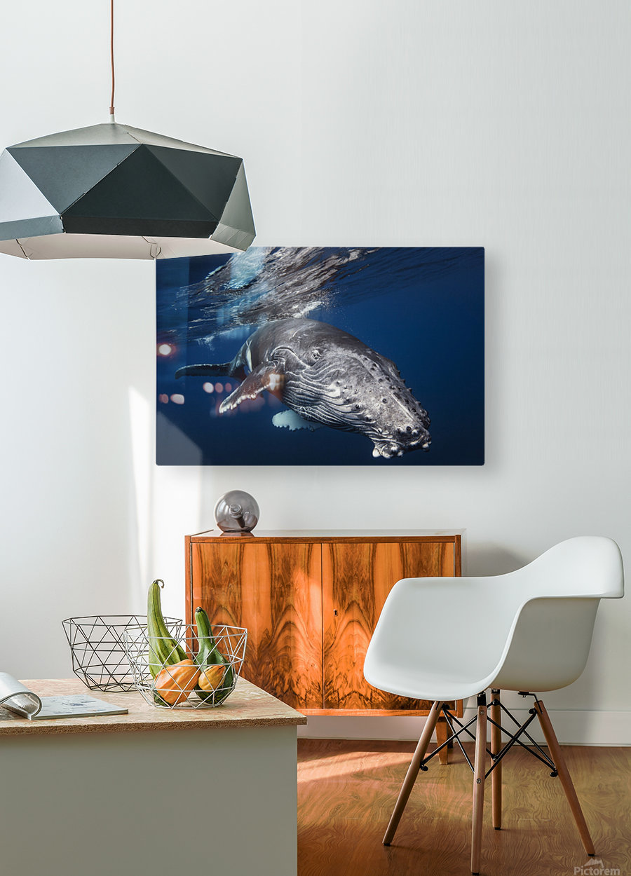 Humpback Whale  HD Metal print with Floating Frame on Back