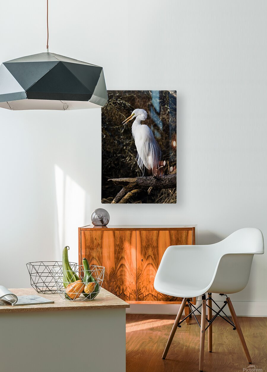 Great White Egret ap 2765  HD Metal print with Floating Frame on Back
