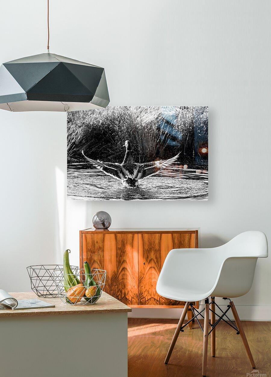 Mallard ap 1826 B&W  HD Metal print with Floating Frame on Back