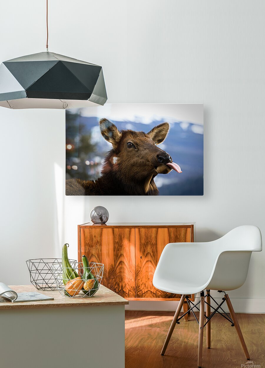 Cow  HD Metal print with Floating Frame on Back