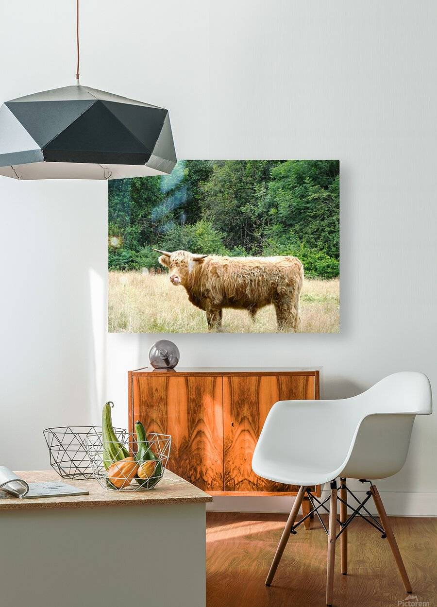 Hairy Coo - Scottish Highlands  HD Metal print with Floating Frame on Back