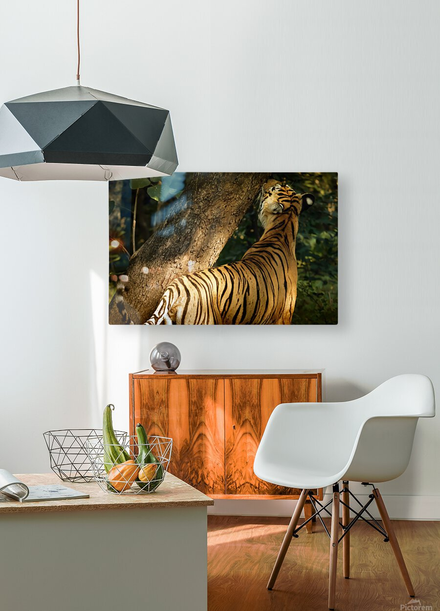 Indian Tiger  HD Metal print with Floating Frame on Back