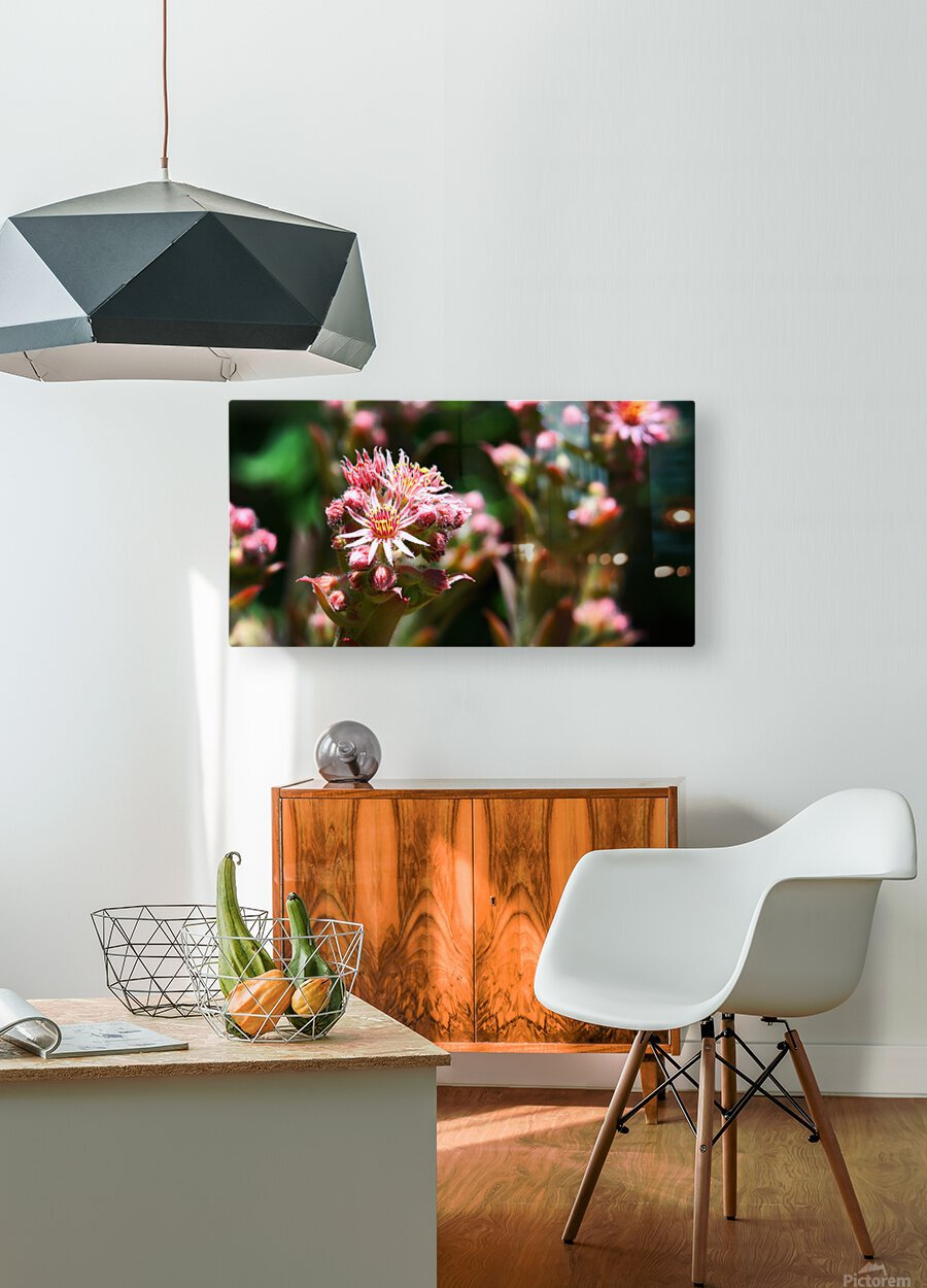 Sempervivum  HD Metal print with Floating Frame on Back