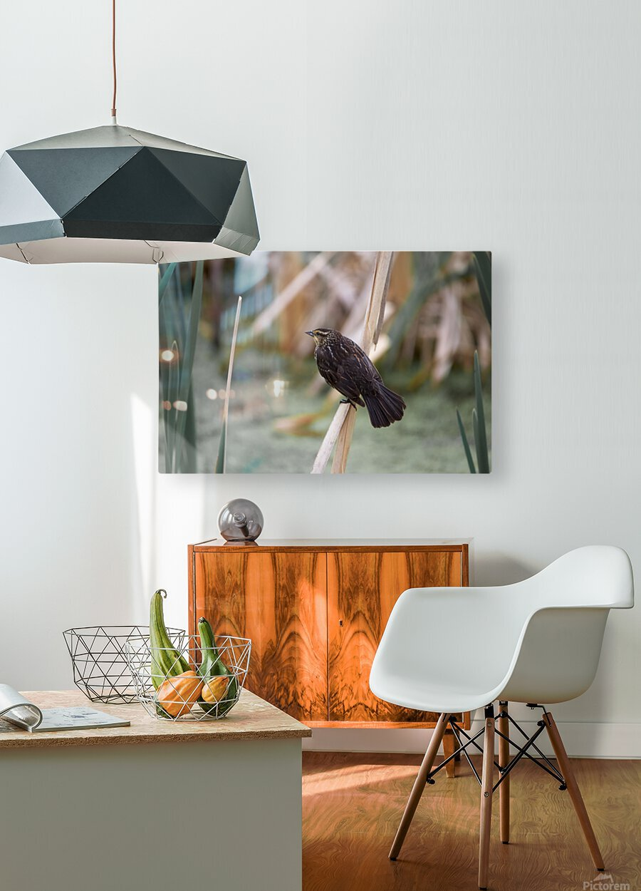 Female redwing blackbird on cat tail  HD Metal print with Floating Frame on Back