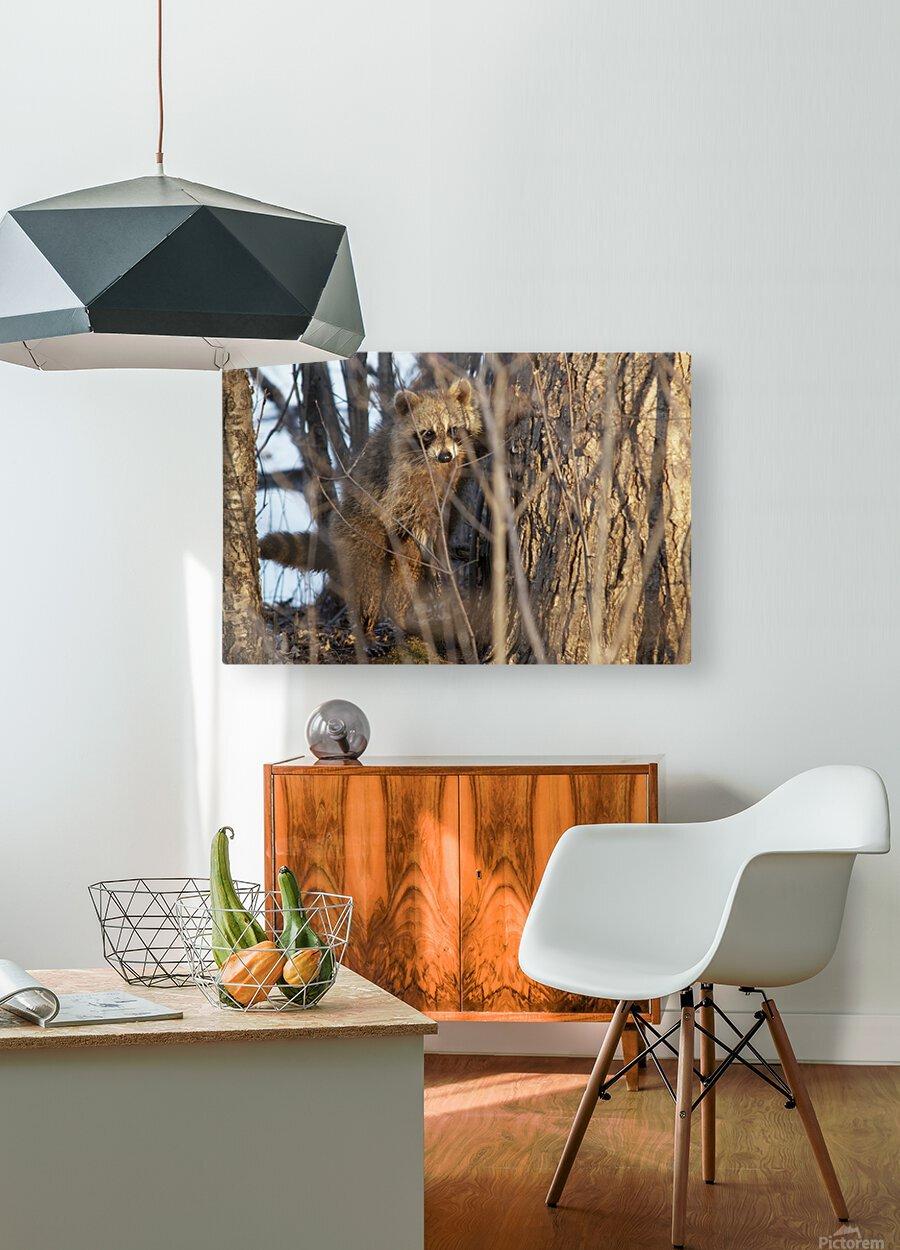Racoon peeking through twigs  HD Metal print with Floating Frame on Back