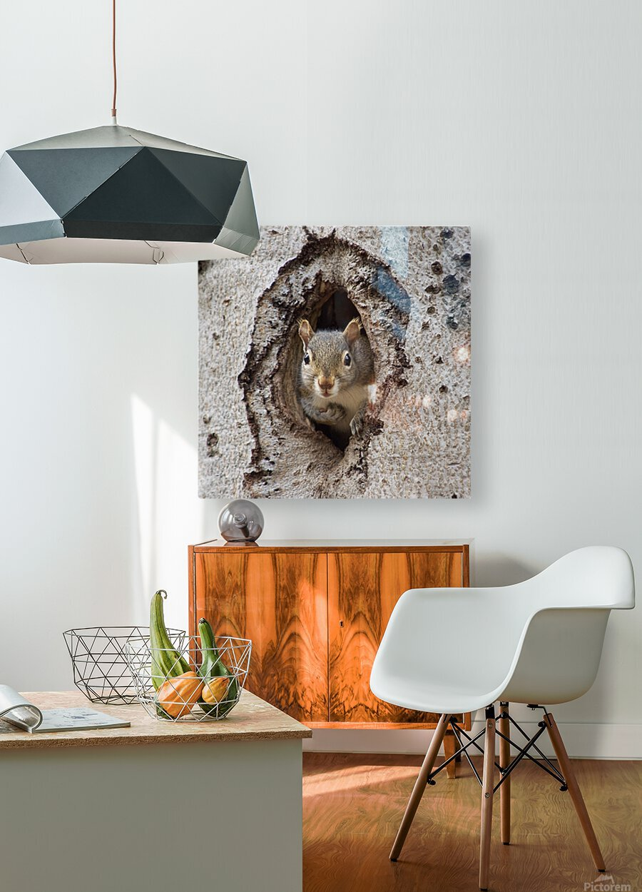 Squirrel in tree hole  HD Metal print with Floating Frame on Back