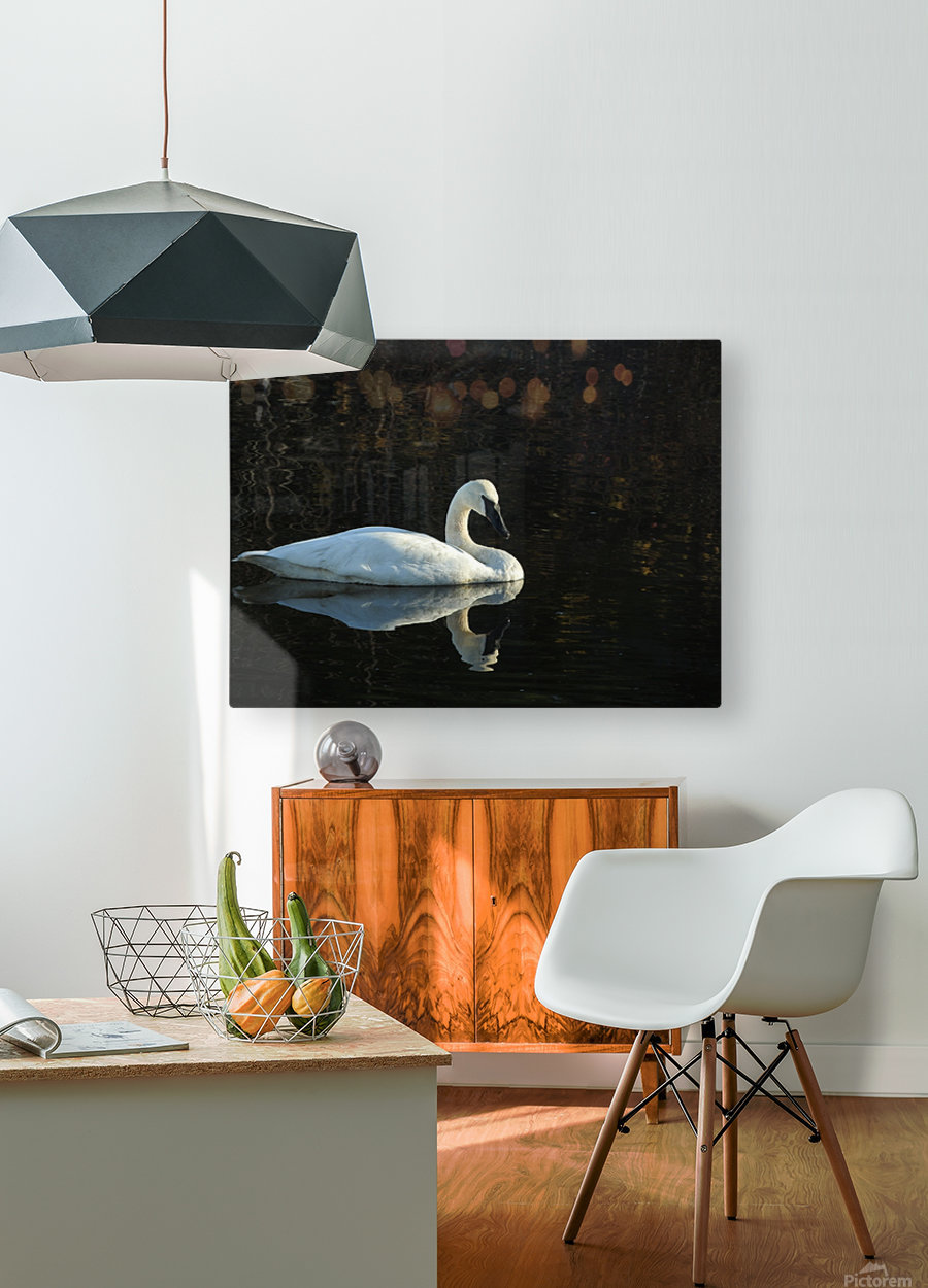 Trumpeter Swan at Estuary  HD Metal print with Floating Frame on Back