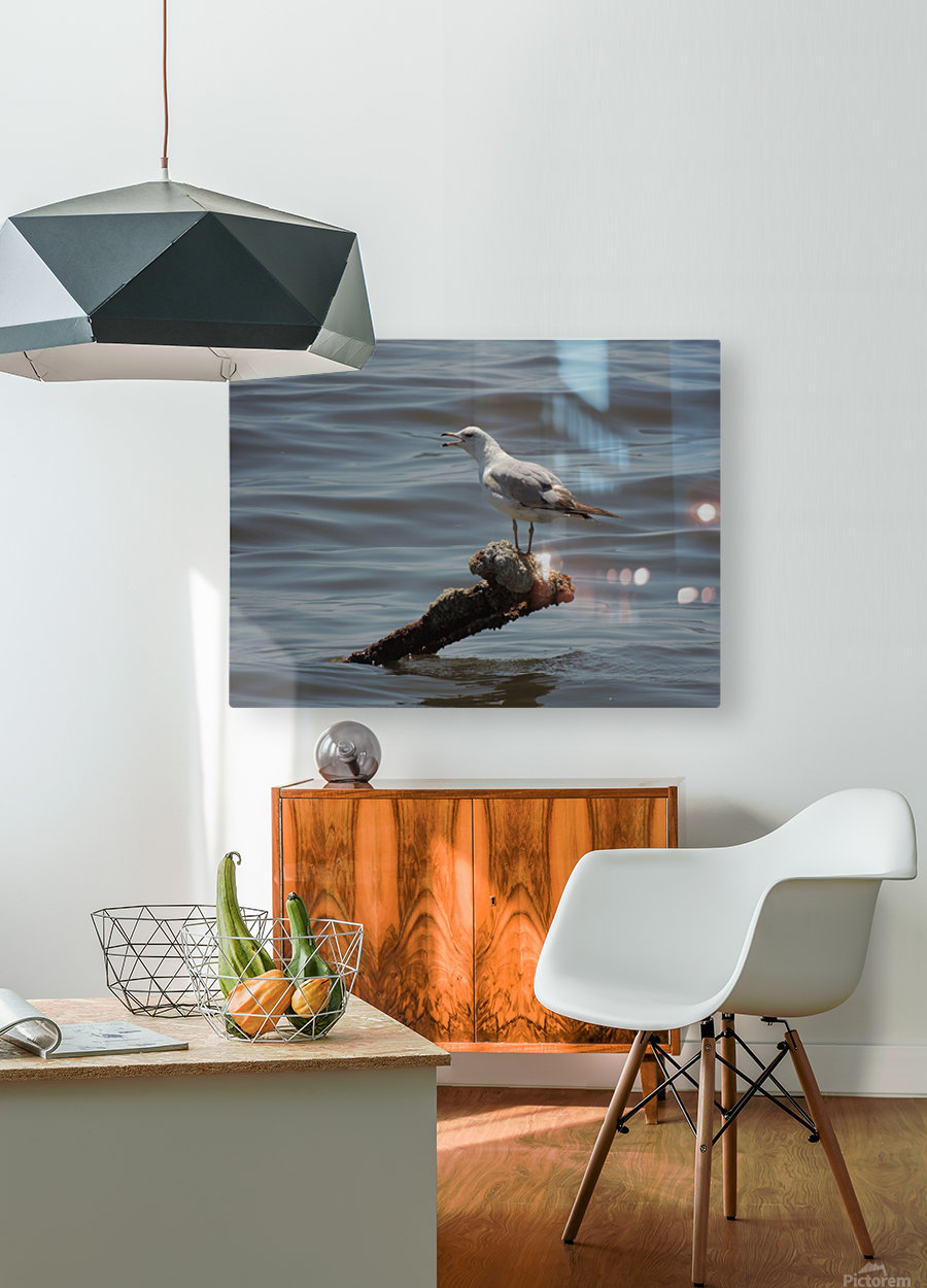 Ring-billed Gull  HD Metal print with Floating Frame on Back