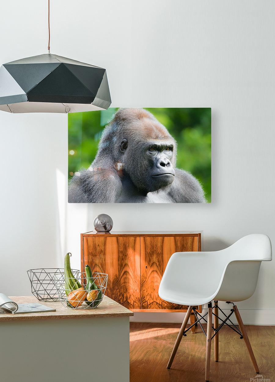 Gorilla  HD Metal print with Floating Frame on Back