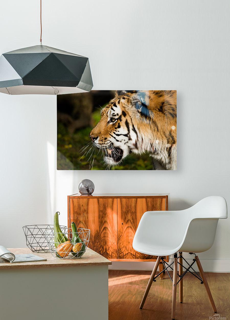 Tiger  HD Metal print with Floating Frame on Back