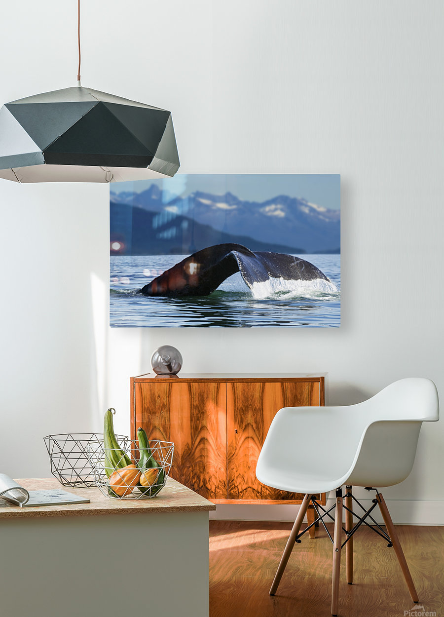 A Humpback whale lifts its flukes as it returns to the depths to feed in the bountiful waters of Alaska's Inside Passage, Tracy Arm in the distance, Stephens Passage, near Juneau.  HD Metal print with Floating Frame on Back