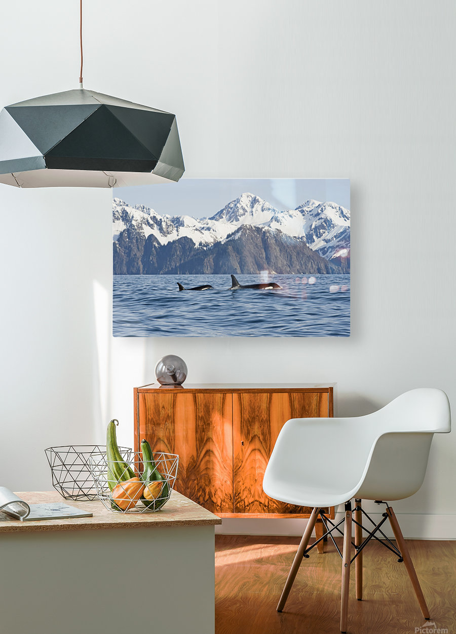 killer whale, or orcas, Orcinus orca, cow and calf swimming in Resurrection Bay, Kenai Fjords National Park, outside Seward, southcentral Alaska, spring  HD Metal print with Floating Frame on Back