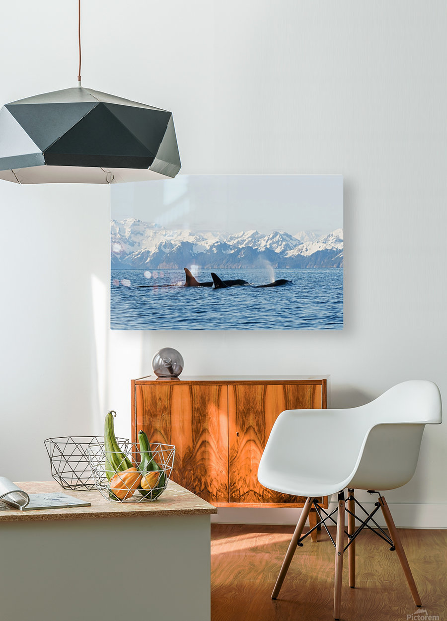 killer whale, or orcas, Orcinus orca, pod in traveling in Resurrection Bay, Kenai Fjords National Park, outside Seward, southcentral Alaska, spring  HD Metal print with Floating Frame on Back
