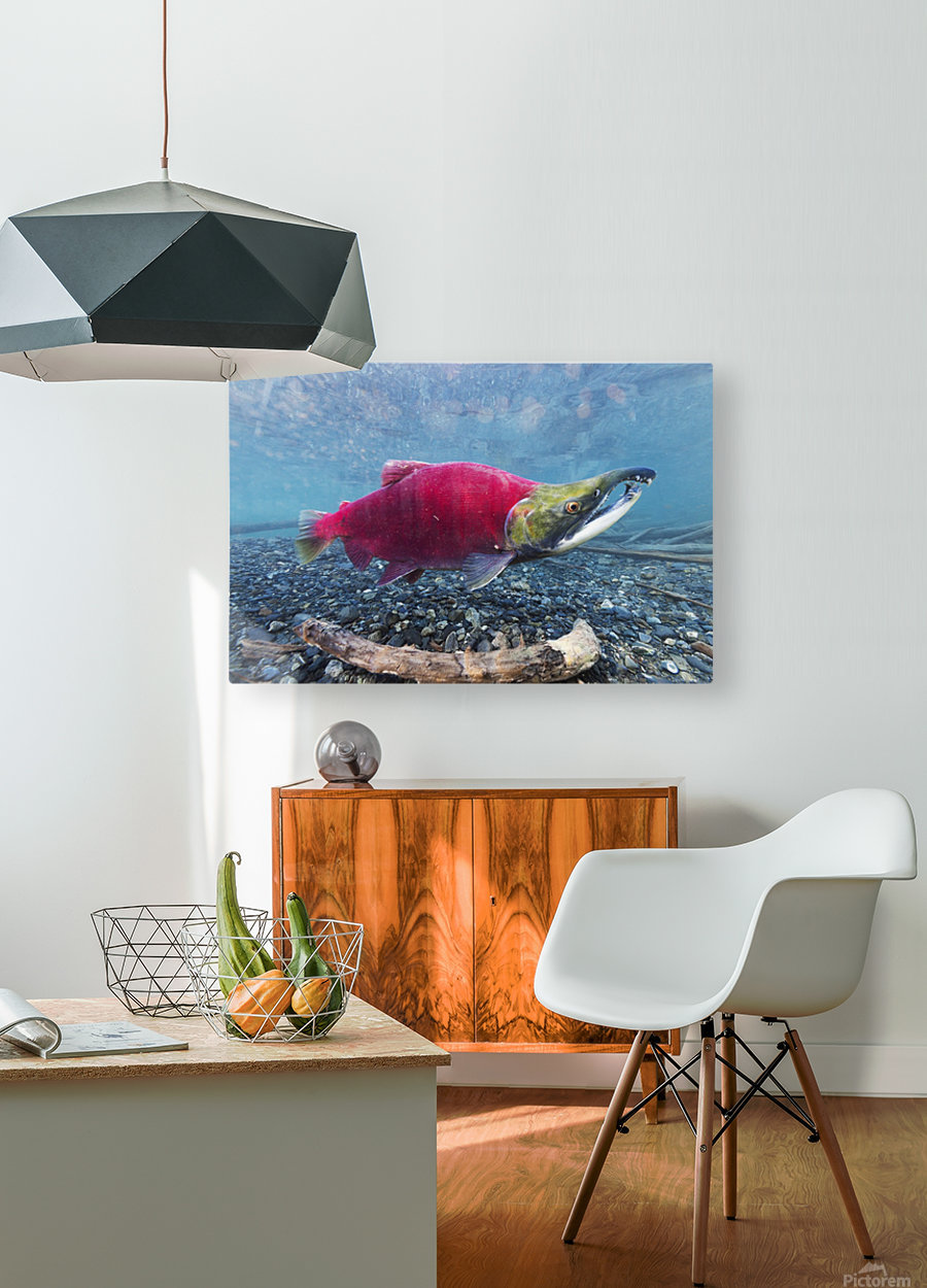 Underwater view of a male Sockeye Salmon in Power Creek near Cordova, Southcentral Alaska  HD Metal print with Floating Frame on Back