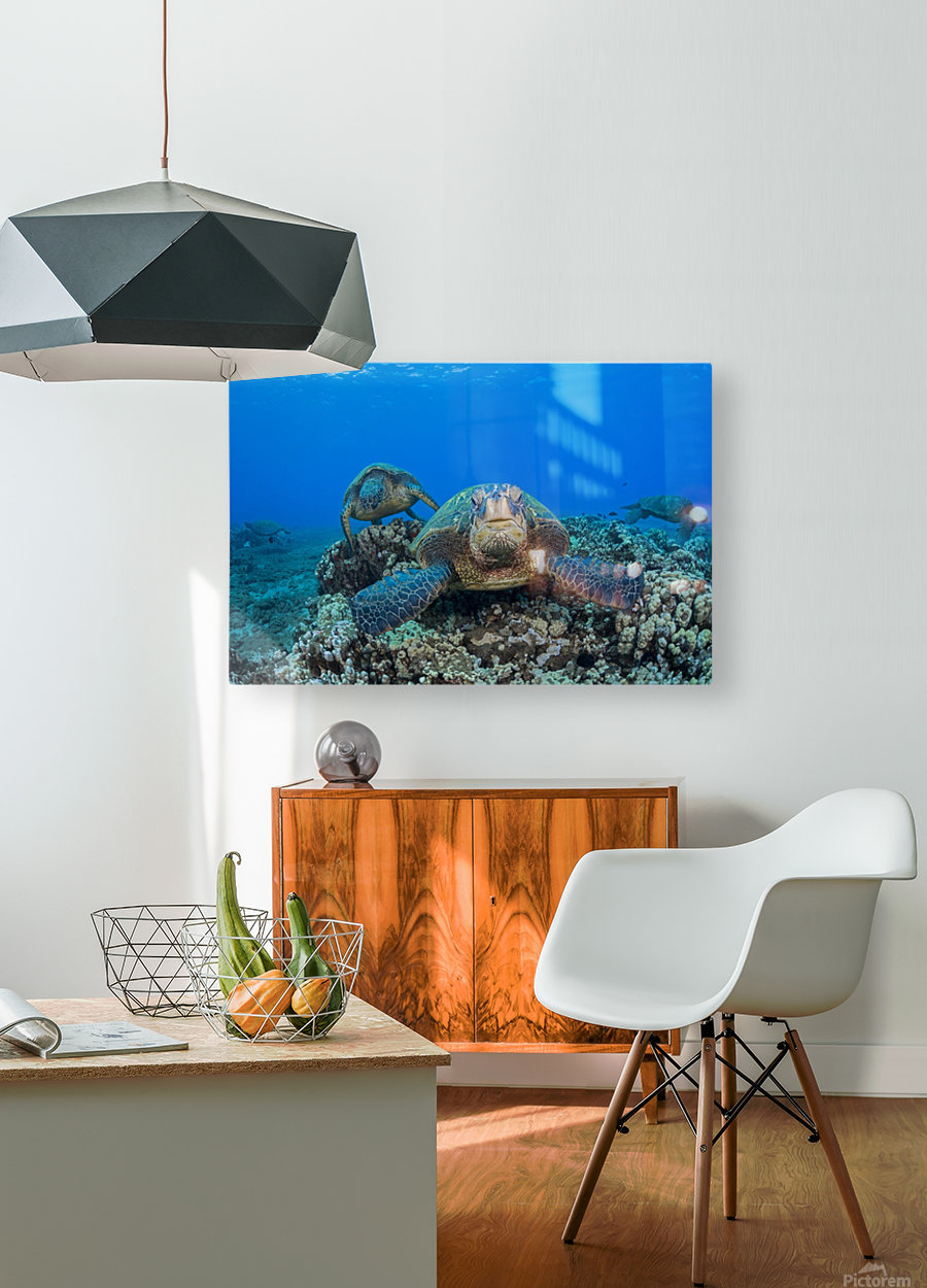 Several green sea turtles (Chelonia mydas), an endangered species, gather at a cleaning station off West Maui; Maui, Hawaii, United States of America  HD Metal print with Floating Frame on Back