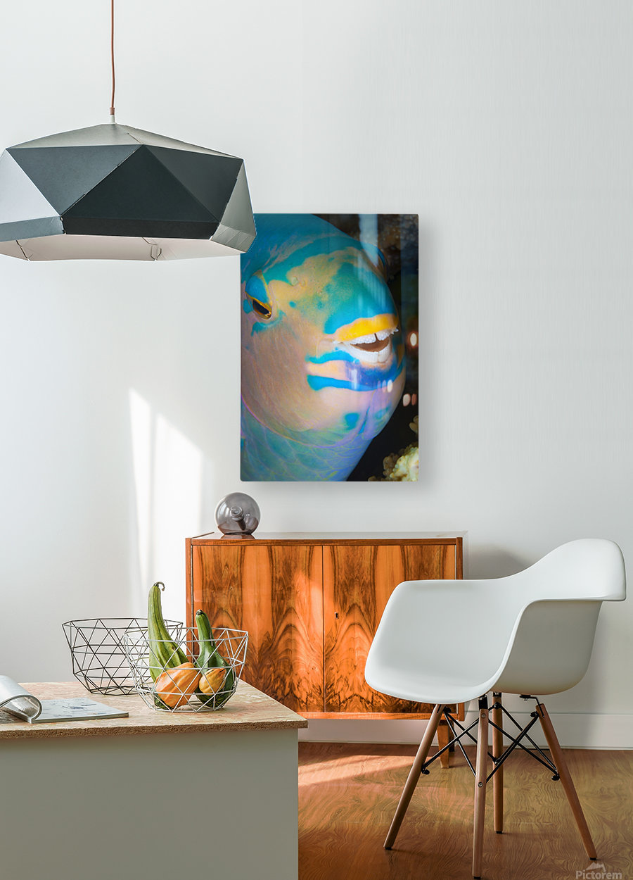 A close up look at night of a sleeping three color parrotfish (Scarus tricolor); Fiji  HD Metal print with Floating Frame on Back