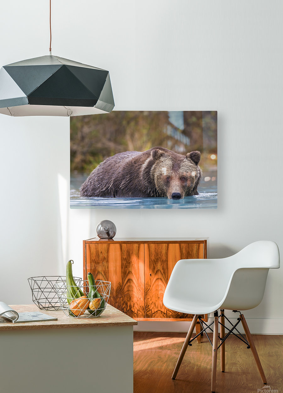 Close up of a coastal Brown Bear (Ursus Arctos) wading in water, Southcentral Alaska, Autumn  HD Metal print with Floating Frame on Back