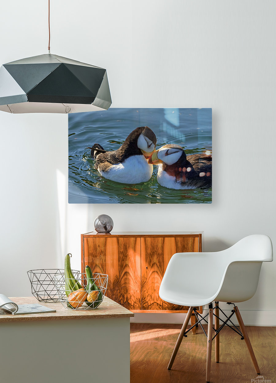 Close up of a pair of Horned Puffins being affectionate, Kodiak, Southwest Alaska  HD Metal print with Floating Frame on Back