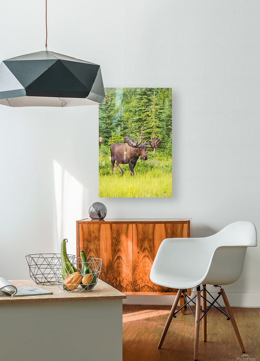 Bull moose in velvet, Kincaid Park, Anchorage, Southcentra Alaska, summer  HD Metal print with Floating Frame on Back