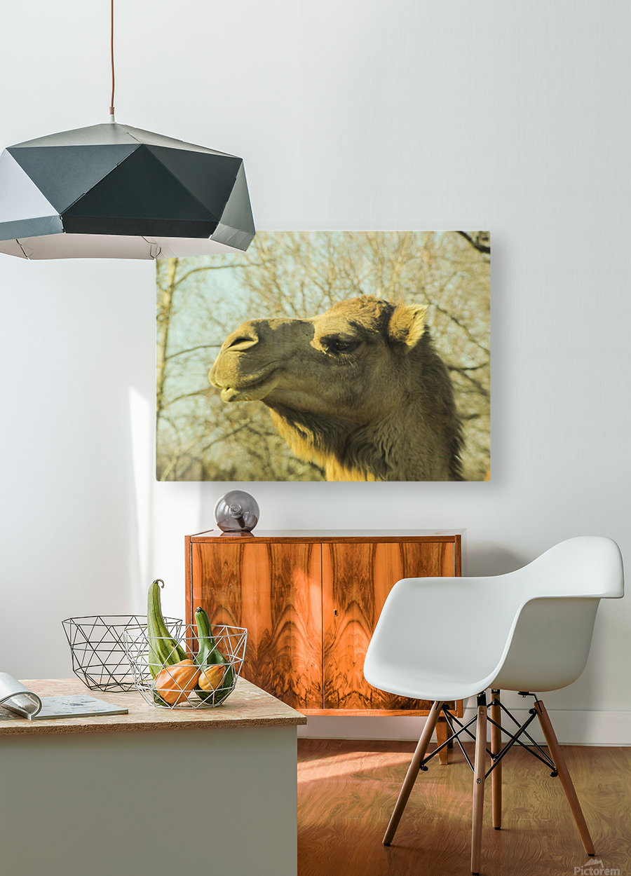 Aribian Camel  HD Metal print with Floating Frame on Back