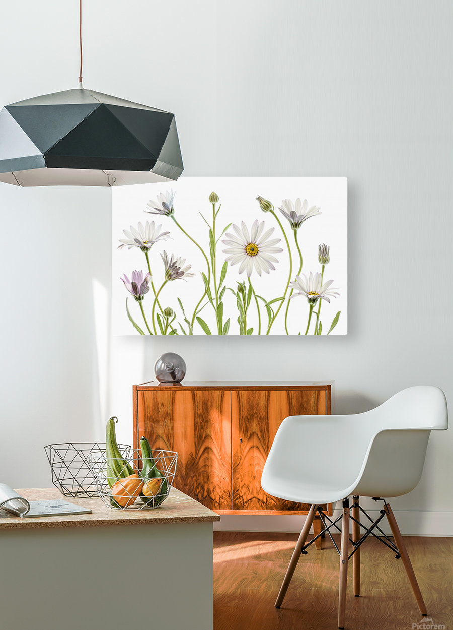 Cape Daisies  HD Metal print with Floating Frame on Back