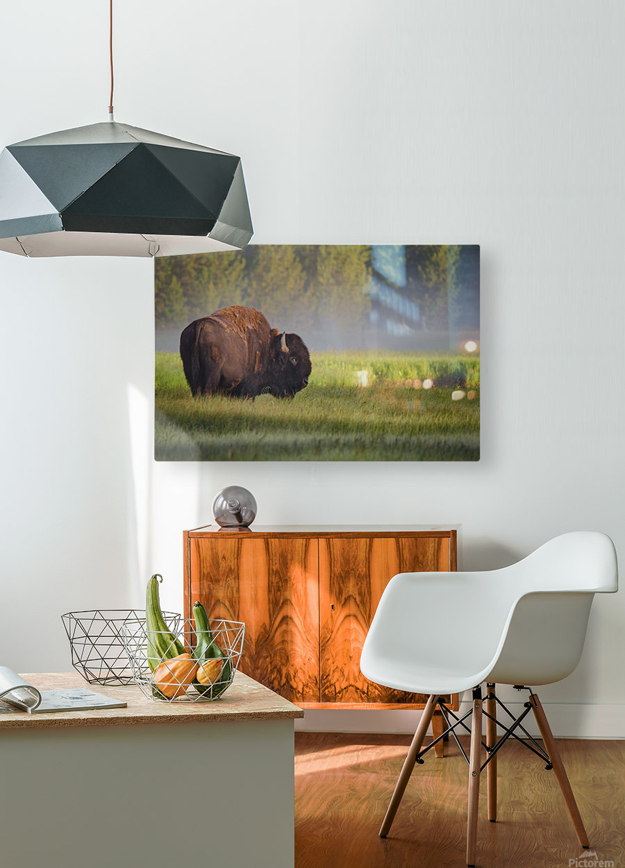 Bison in Morning Light  HD Metal print with Floating Frame on Back