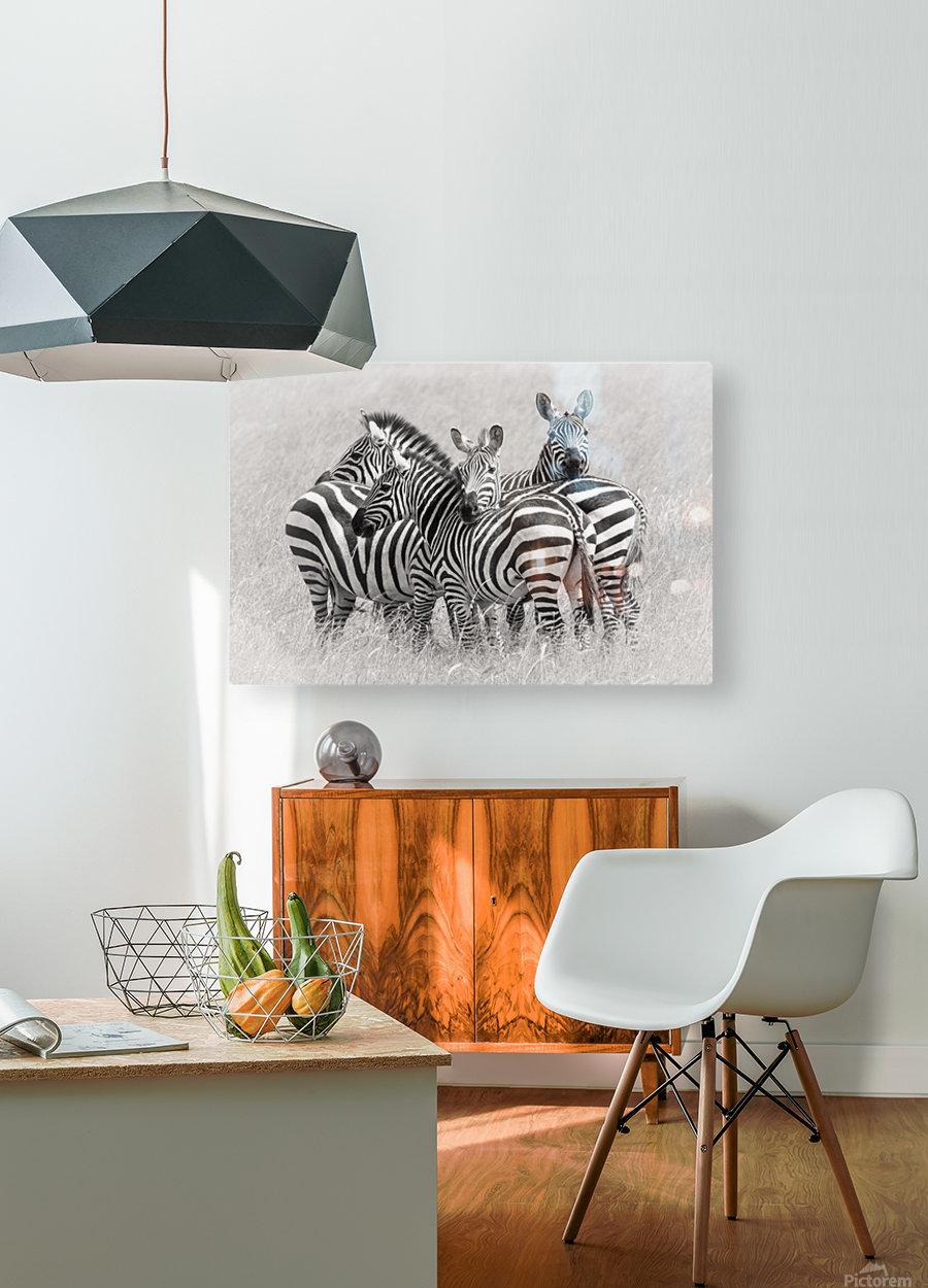 Zebras  HD Metal print with Floating Frame on Back