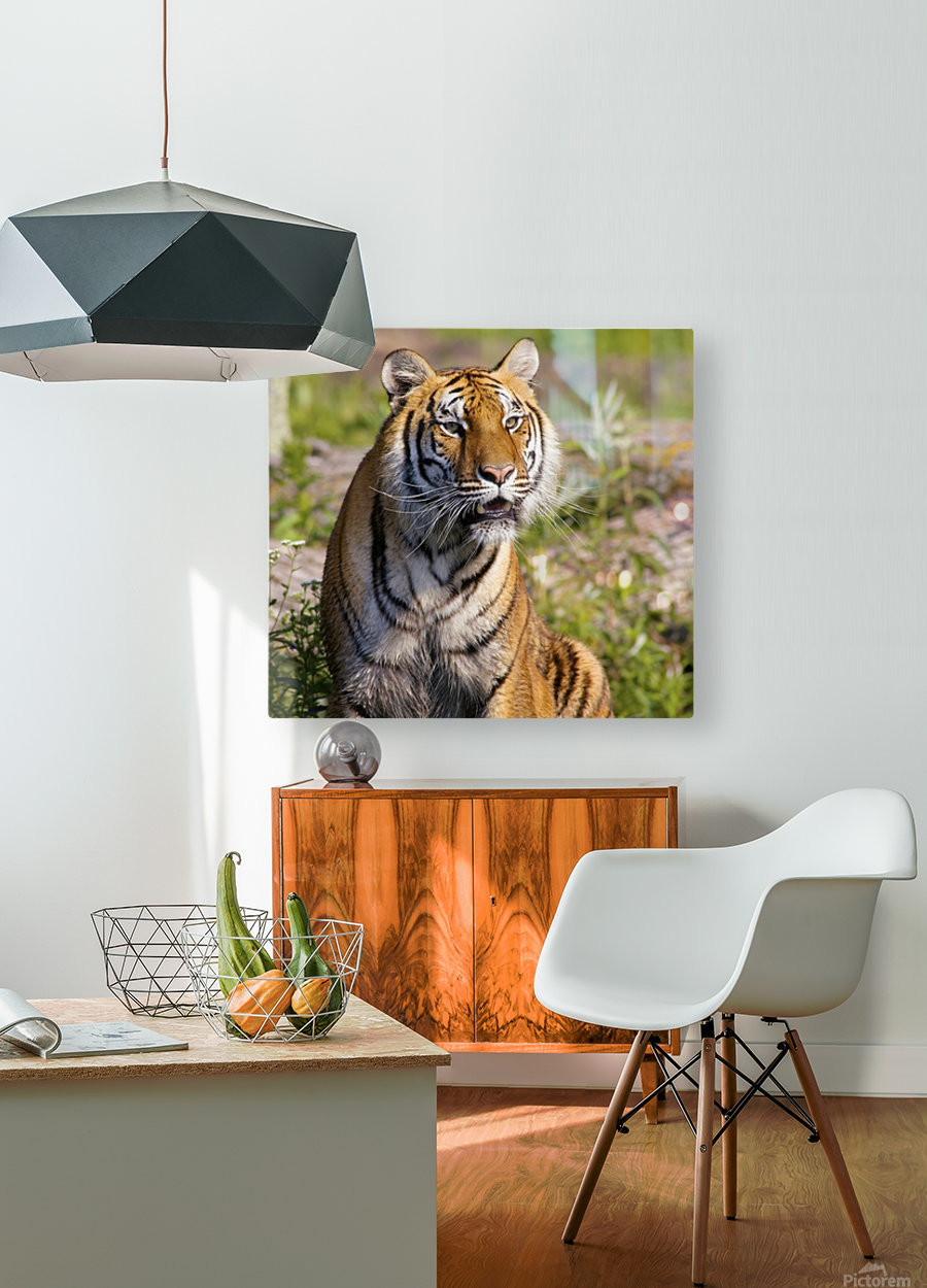 Tiger Watching  HD Metal print with Floating Frame on Back