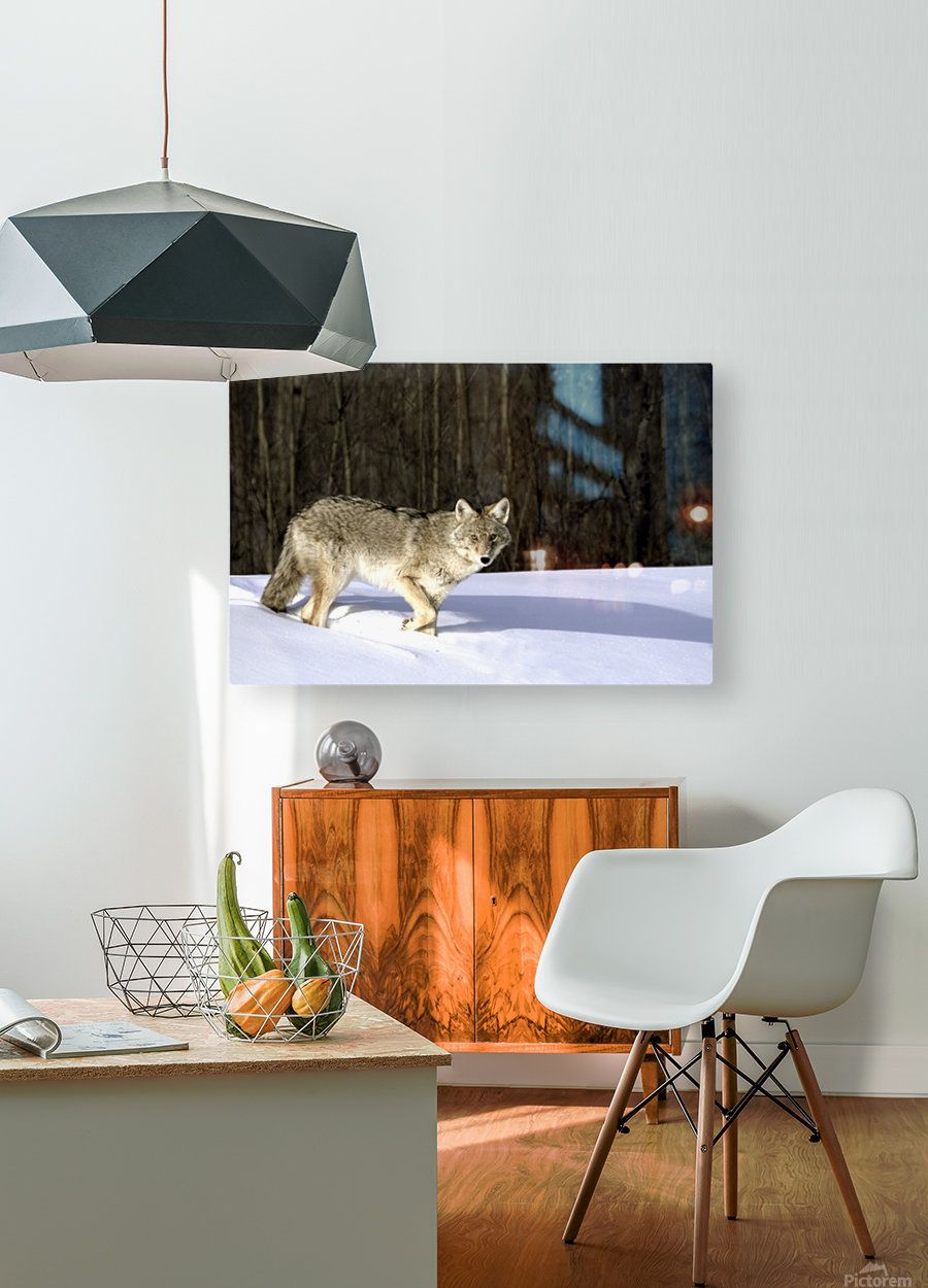 Coyote In Winter  HD Metal print with Floating Frame on Back