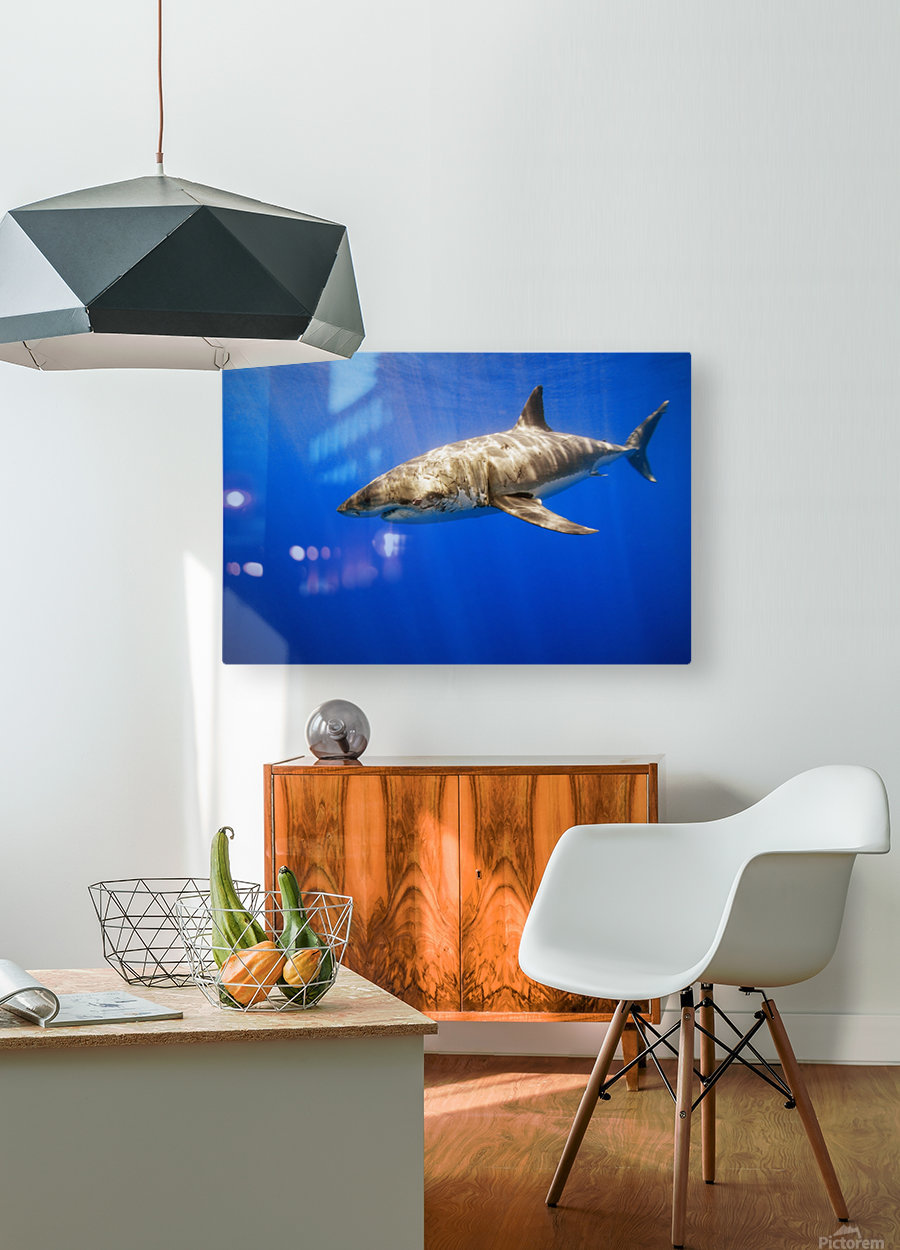 Great White Shark  HD Metal print with Floating Frame on Back